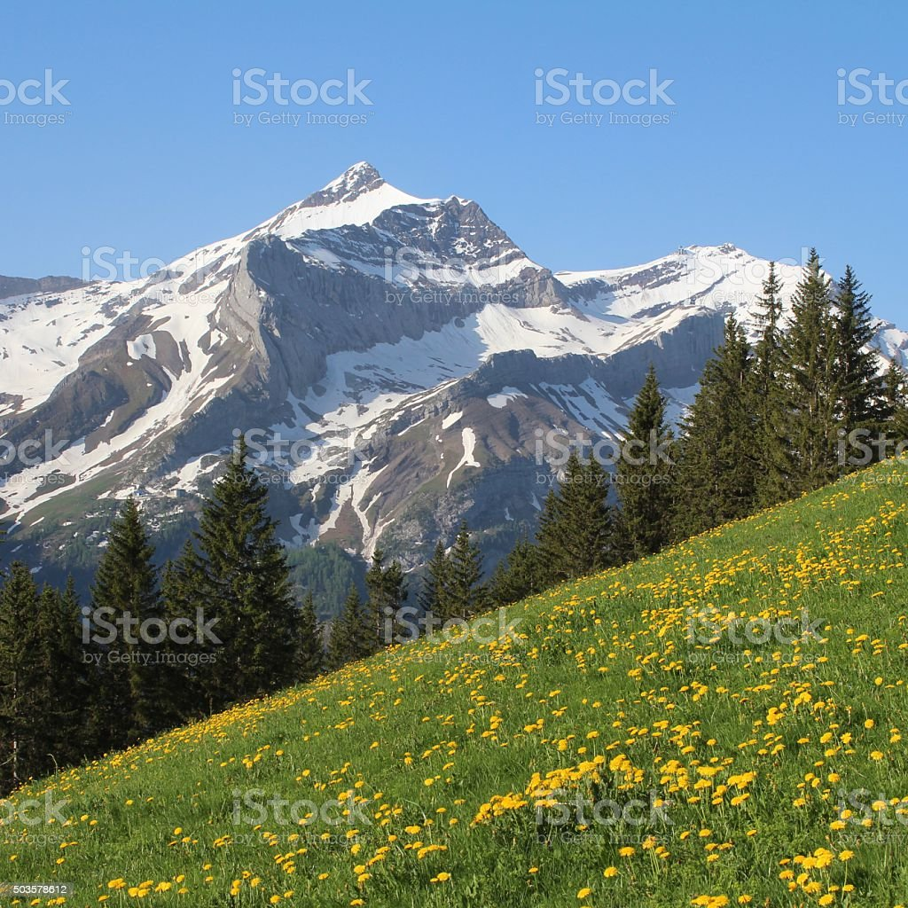 Mt Oldenhorn and green meadow with dandelion stock photo