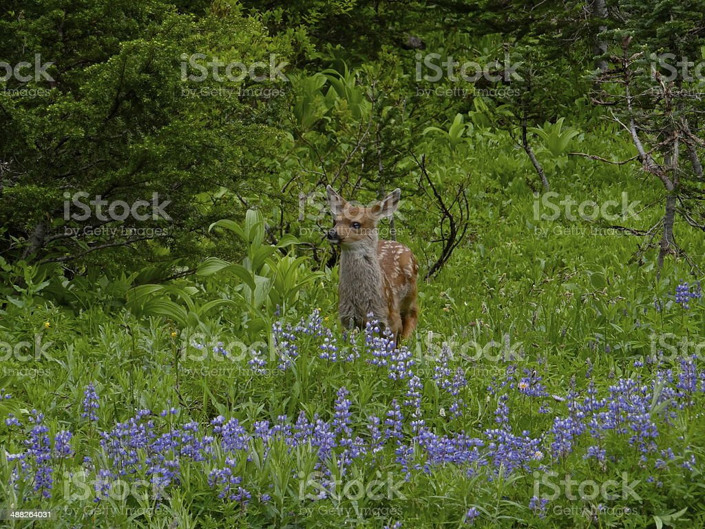 Mt. Rainier Bambi stock photo