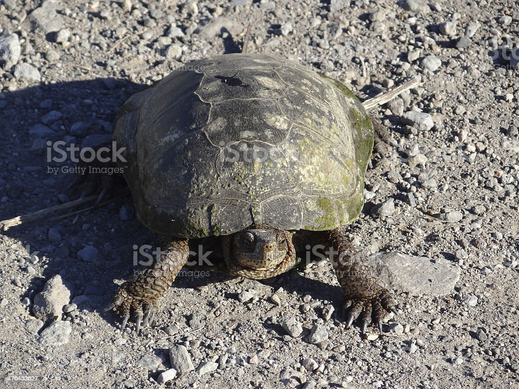 Mt. Shasta Turtle stock photo