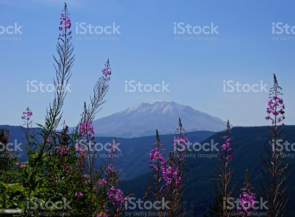 Mt. St. Helens Fire Weed stock photo