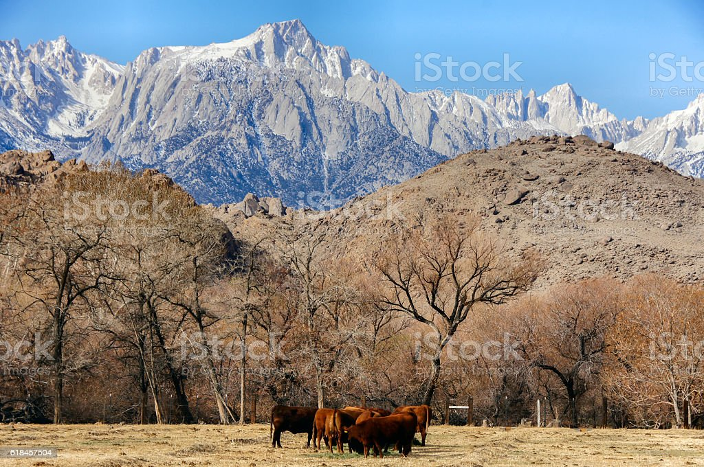 Mt. Whitney, Sierra Nevada Mountains, and Cows in the Foothills stock photo