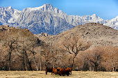 Mt. Whitney, Sierra Nevada Mountains, and Cows in the Foothills