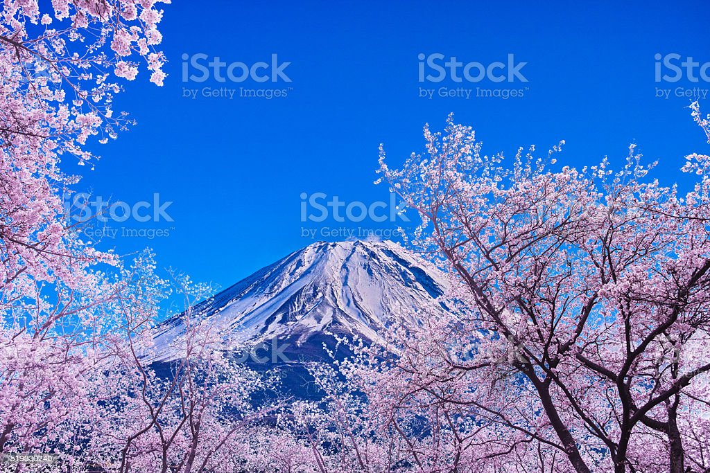 Mt.Fuji and Cherry tree stock photo