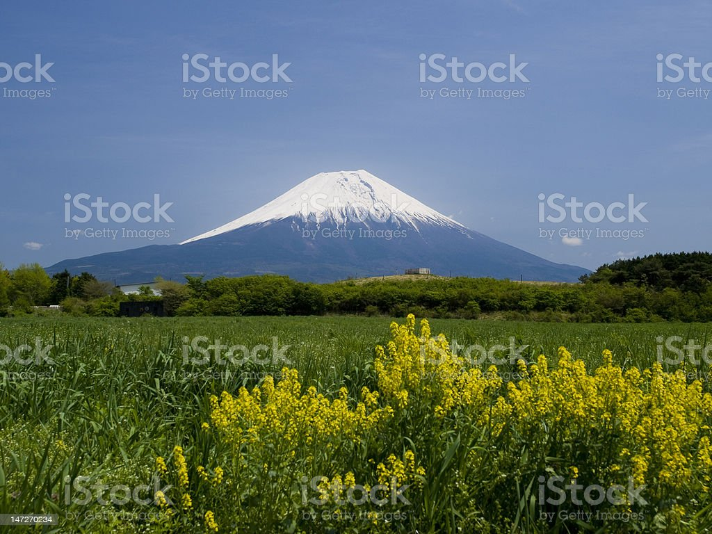 Mt.Fuji and Rapeseed royalty-free stock photo