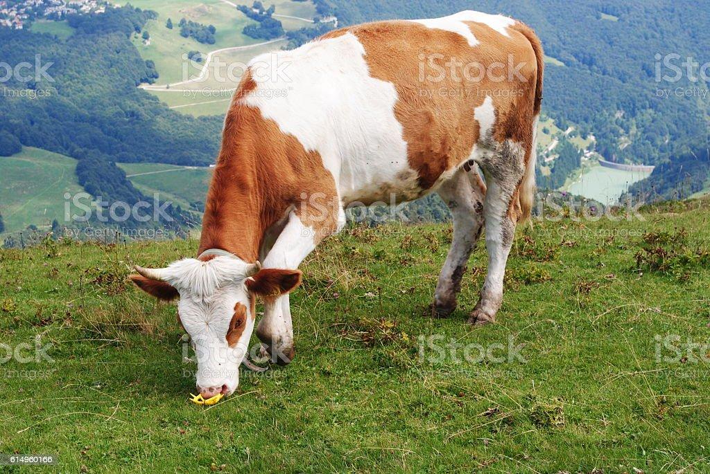 Mucca stock photo