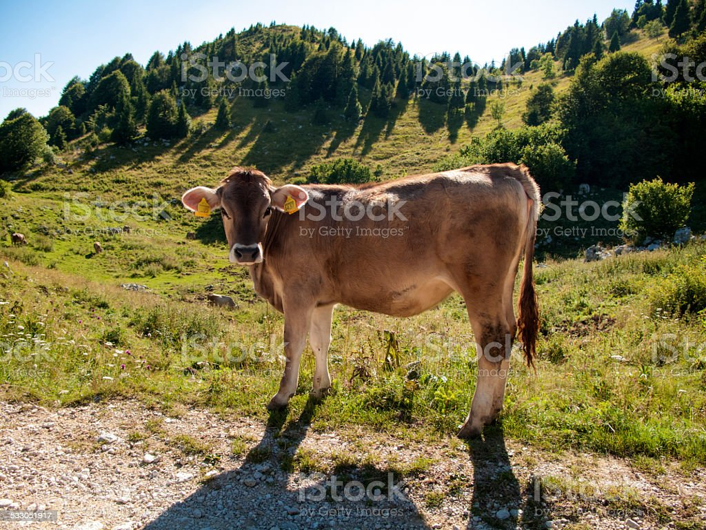Mucca - The cow stock photo