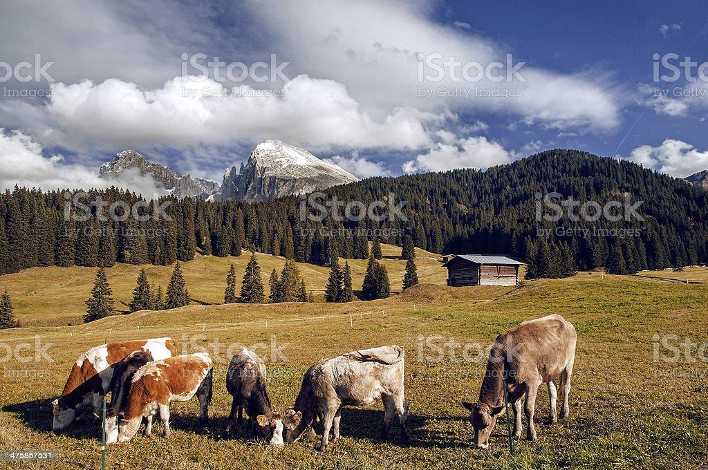 Mucche al pascolo stock photo