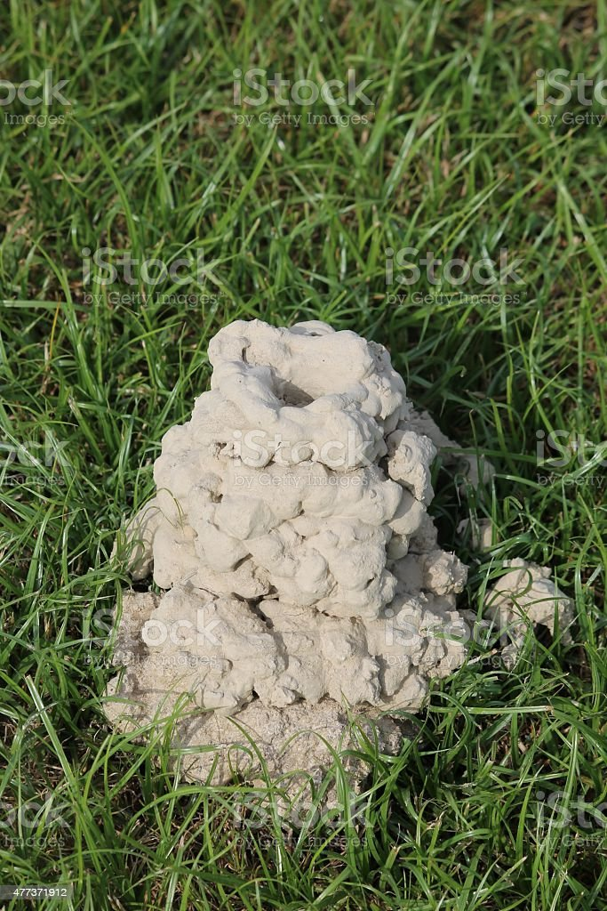 Mud chimney built by crayfish in the grass. stock photo