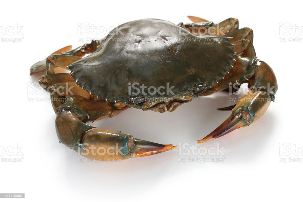mud crab female stock photo