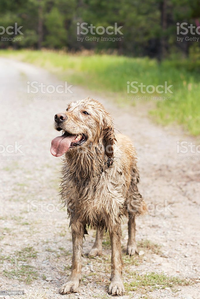 Muddy and Happy Golden Retriever stock photo