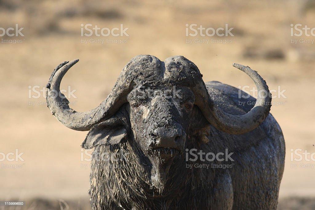 Muddy buffalo bull stock photo