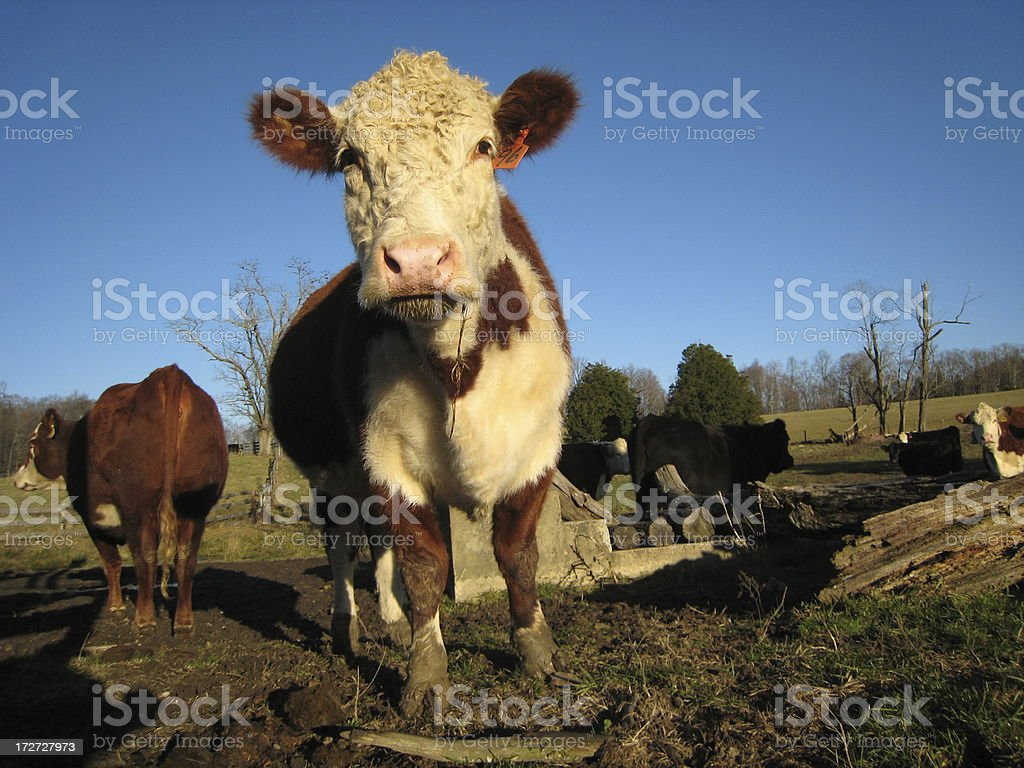 Muddy Cow Blues stock photo