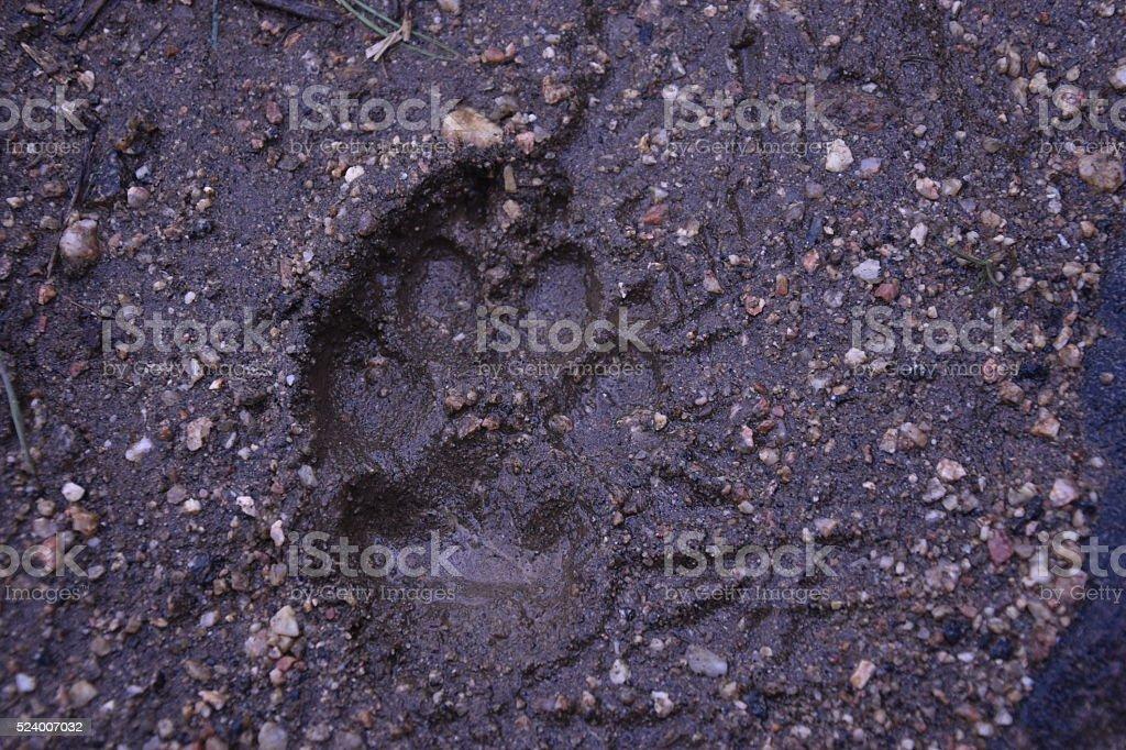 Muddy Dog Foot Print stock photo