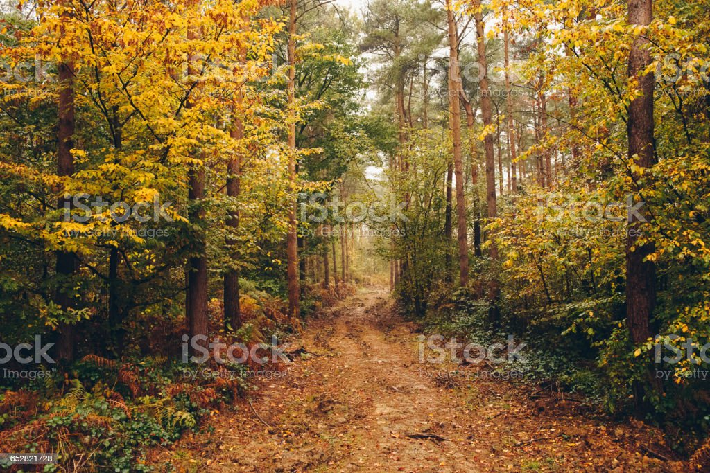 Muddy path leading through a yellow Autumnal forest stock photo