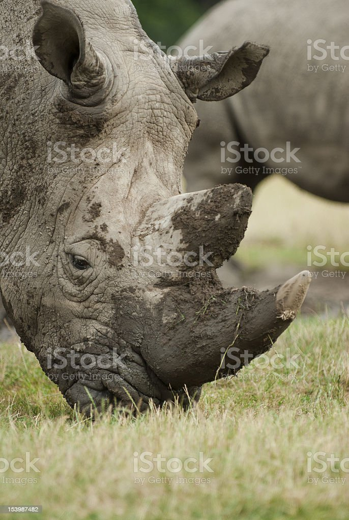 Muddy rhinoceros eating grass stock photo