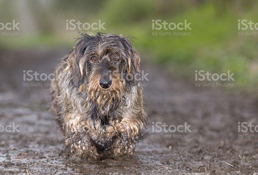 Muddy walk royalty-free stock photo