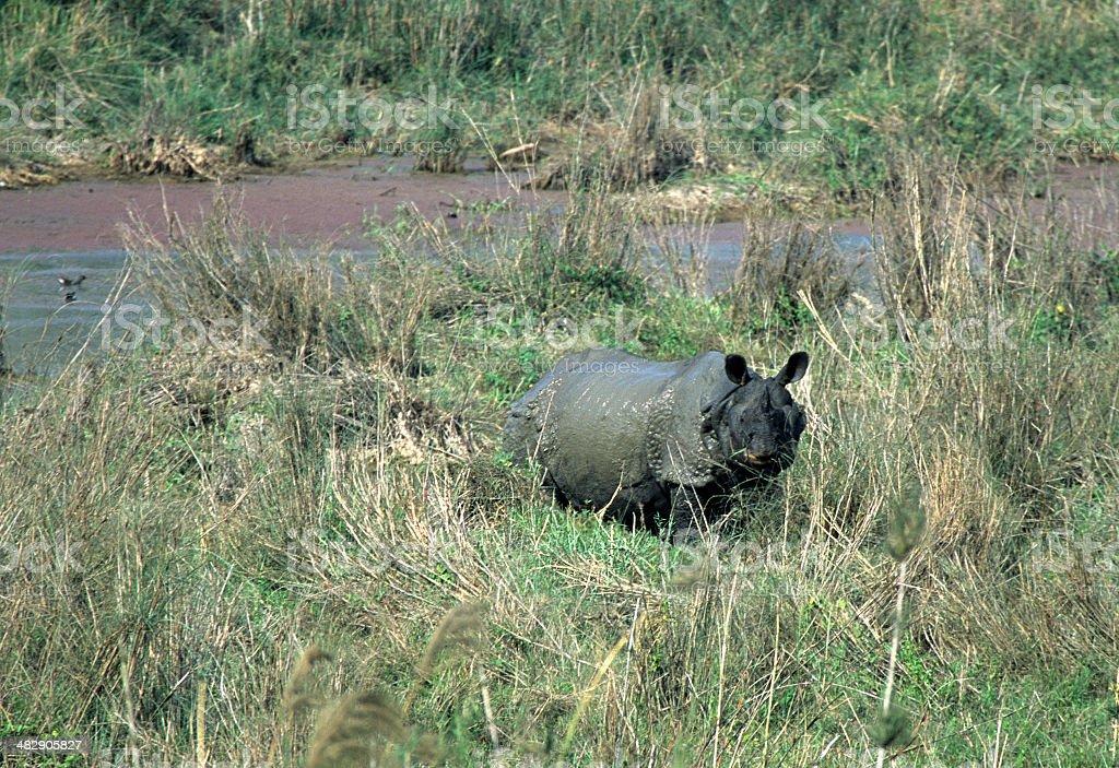Muddy wild greater Indian rhino grazes Nepal stock photo