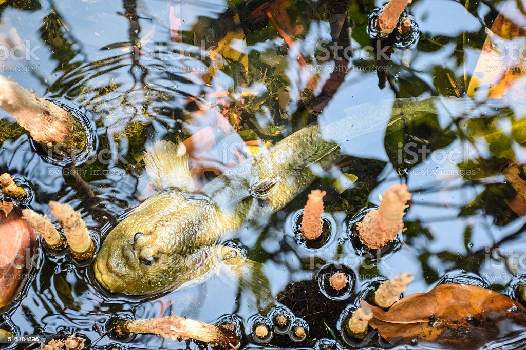 Mudskipper, Amphibious fish stock photo