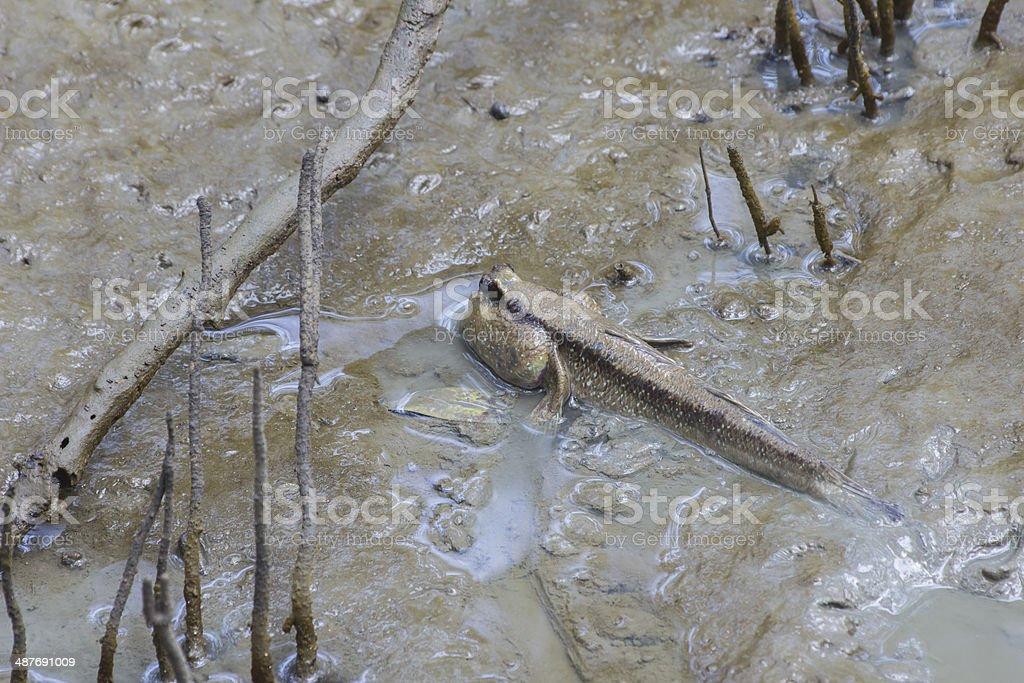 Mudskipper asia Thailand stock photo