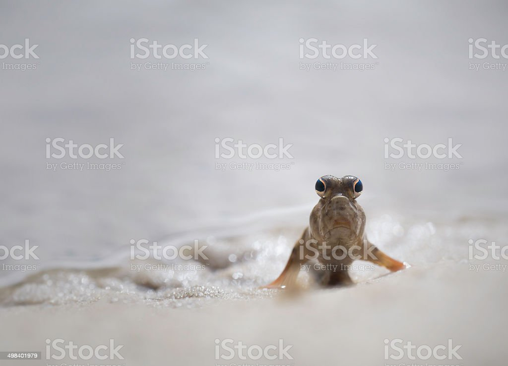 Mudskipper - fish out of water royalty-free stock photo