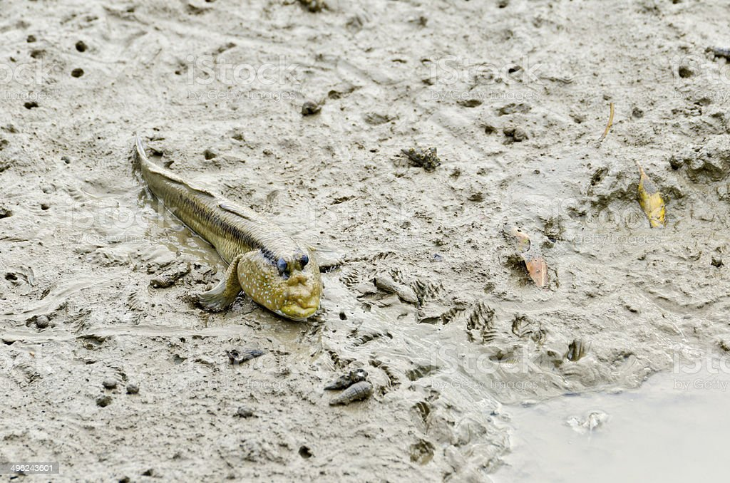 Mudskipper fish stock photo