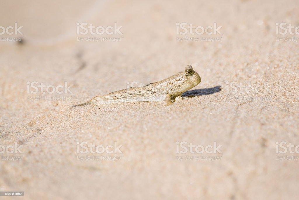 Mudskipper on beach, close up. royalty-free stock photo