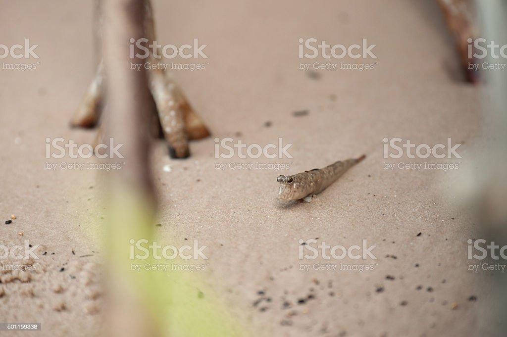 Mudskipper or Amphibious fish stock photo