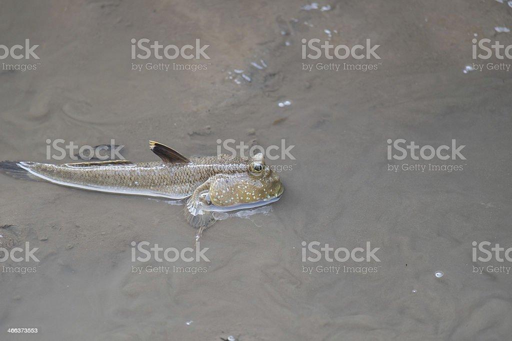Mudskipper stock photo