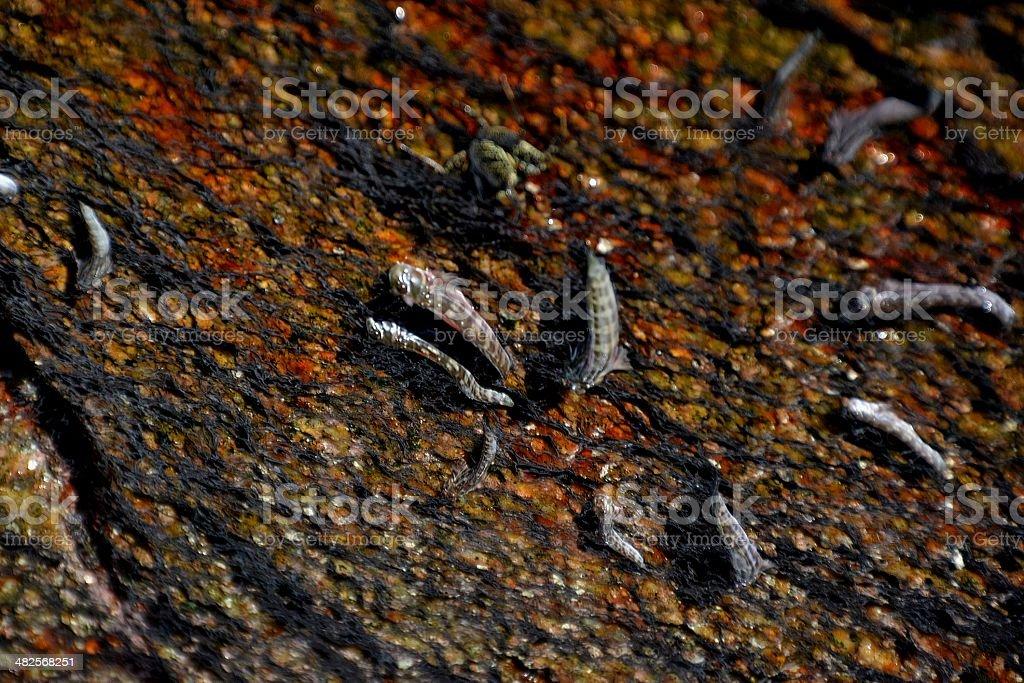 Mudskippers, walking fishes in Similan islands stock photo