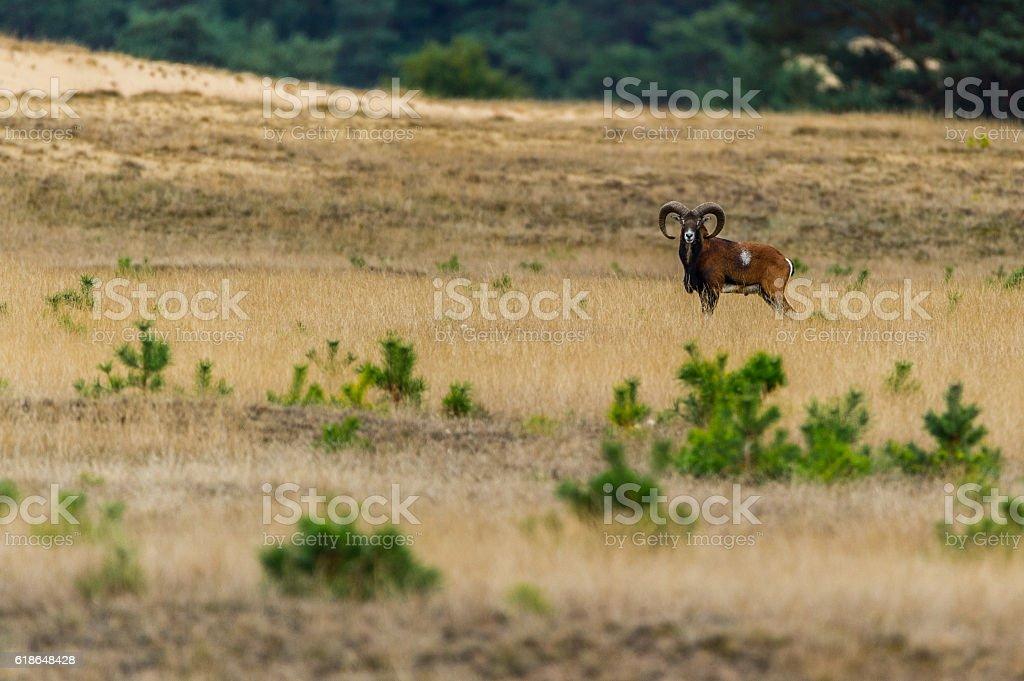 Mufflon in der Landschaft stock photo