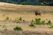 Mufflon in der Landschaft