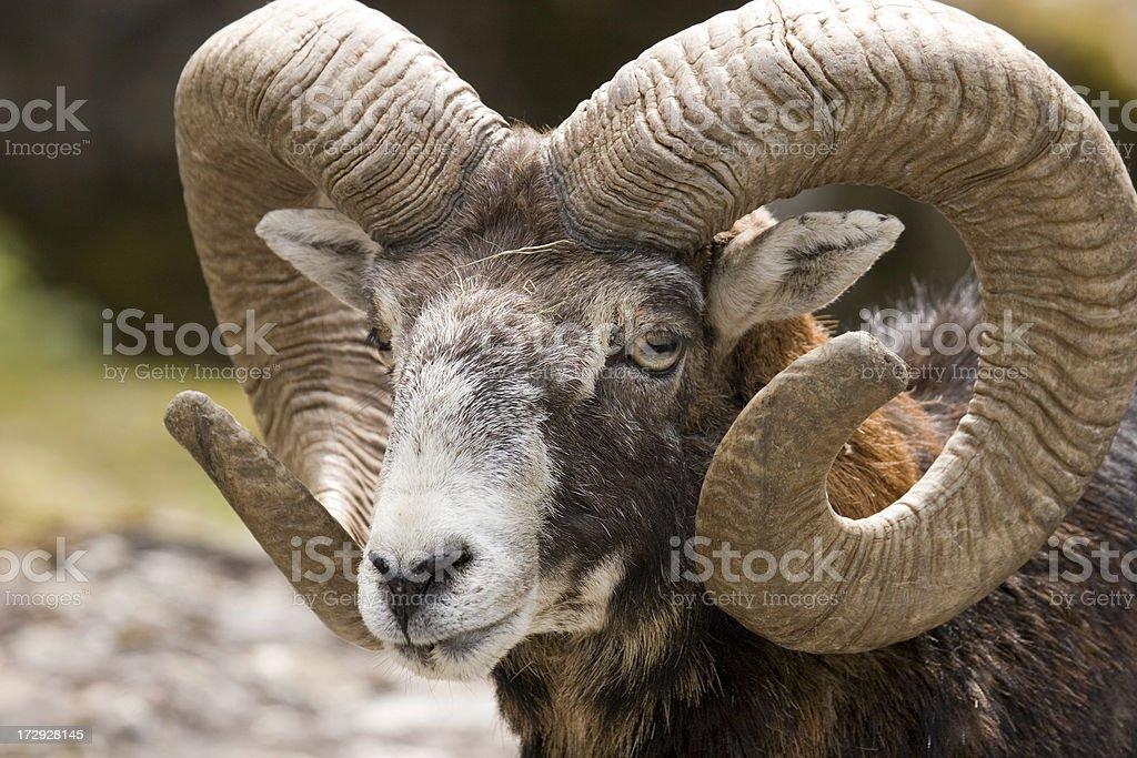 Mufflon stock photo
