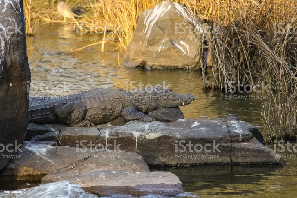 Mugger crocodile resting in the shadow on a river slab stock photo