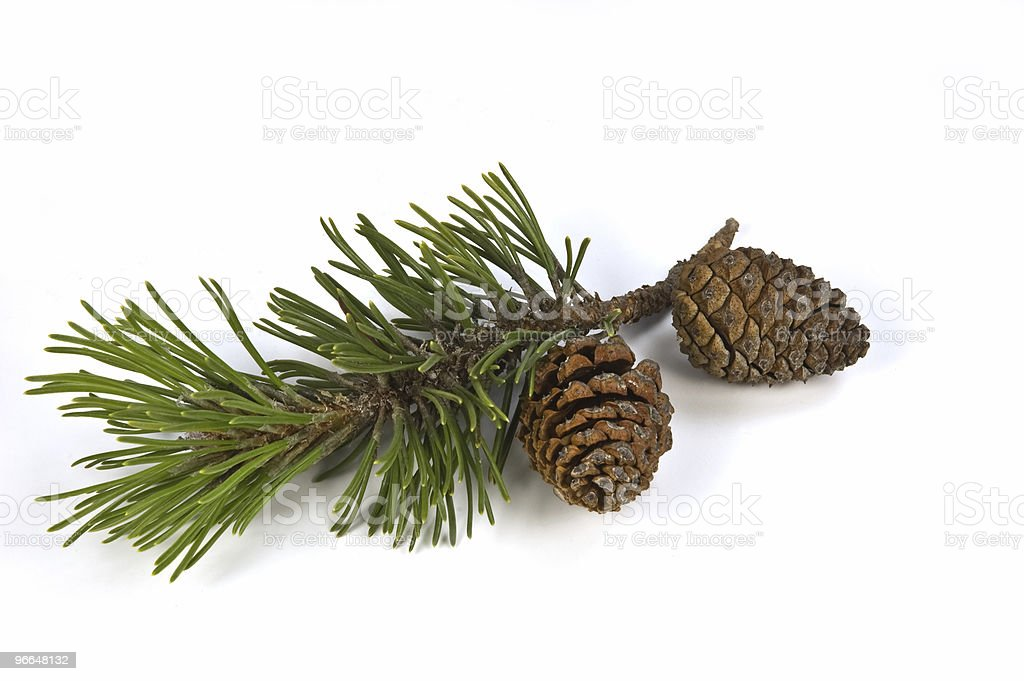 Mugho pine branch and cones royalty-free stock photo