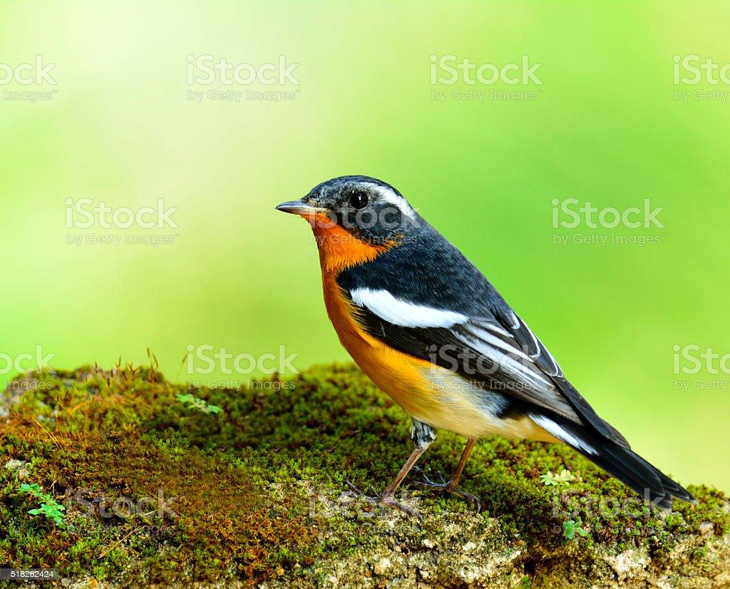 Mugimaki Flycatcher, the little yellow and black bird standing o stock photo