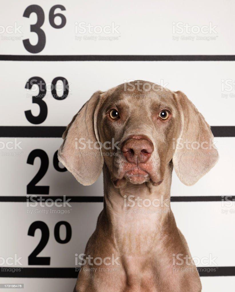 Mugshot of a Dog royalty-free stock photo