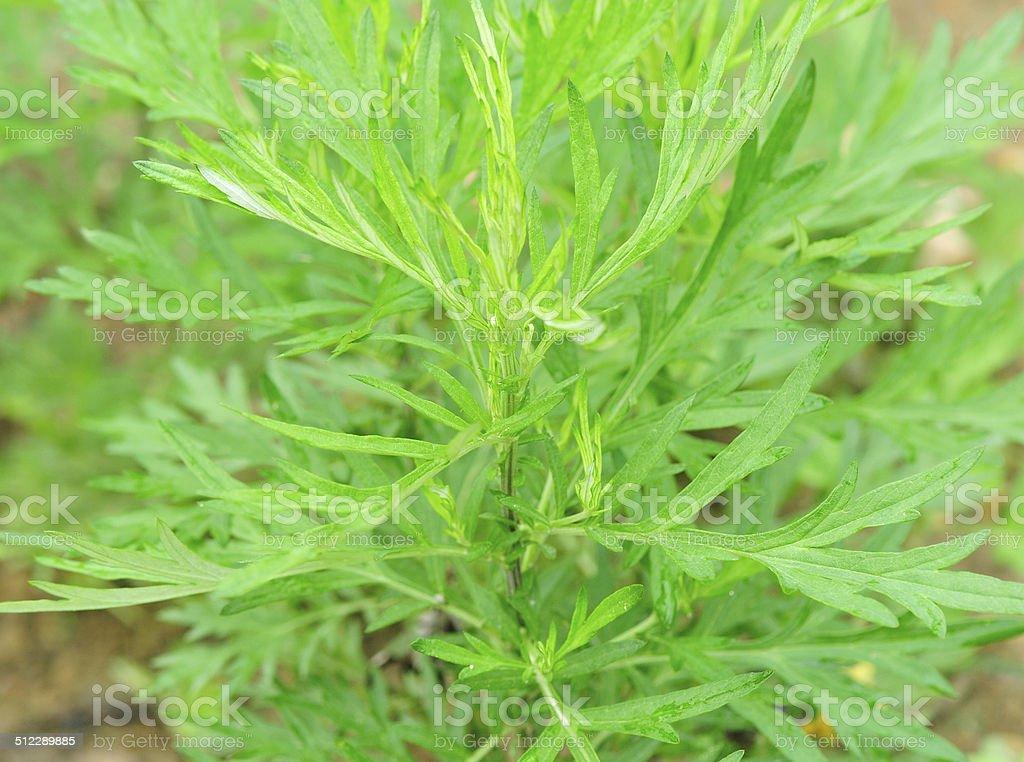 Mugwort plants stock photo