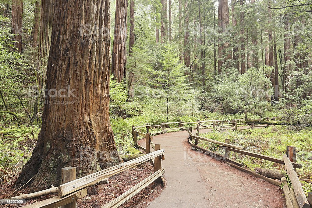 Muir Woods Footpath royalty-free stock photo