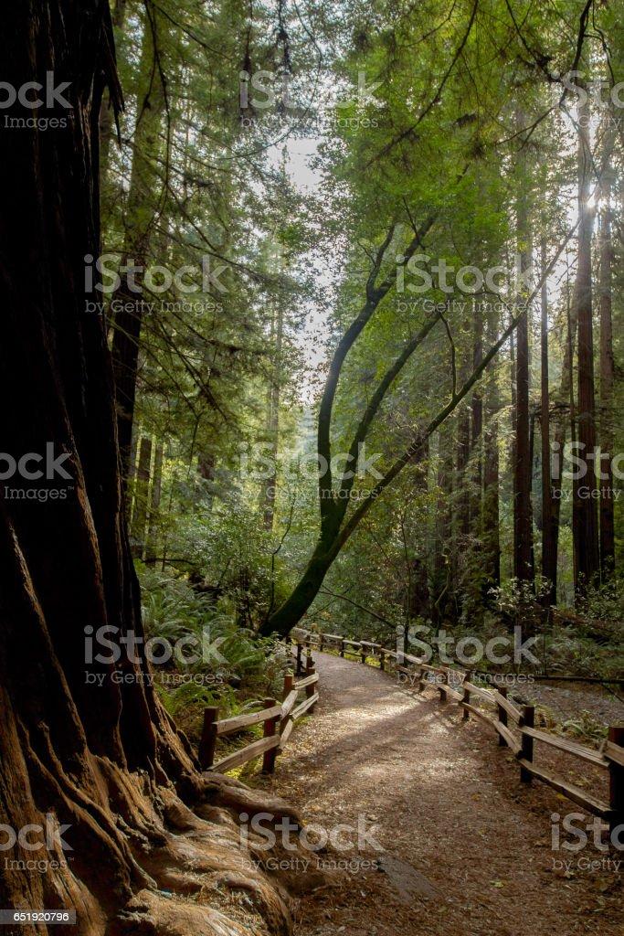 Muir Woods footpath stock photo