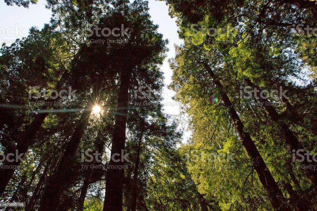 Muir Woods in Northern California stock photo