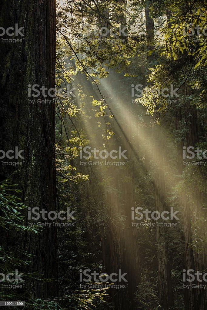 Muir Woods Light royalty-free stock photo