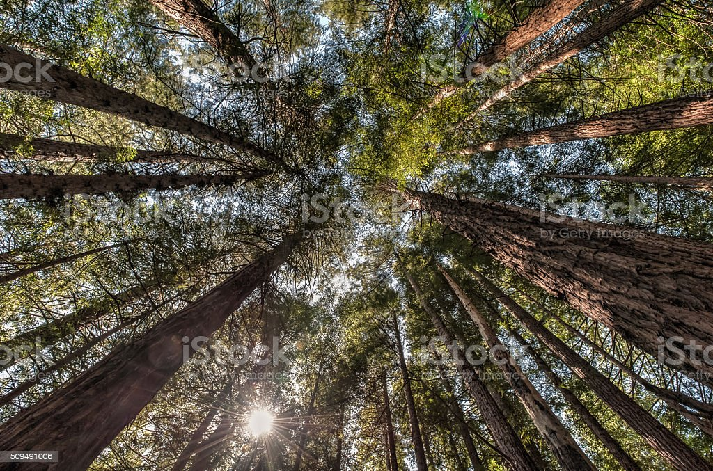 Muir Woods Looking up, San Francisco stock photo