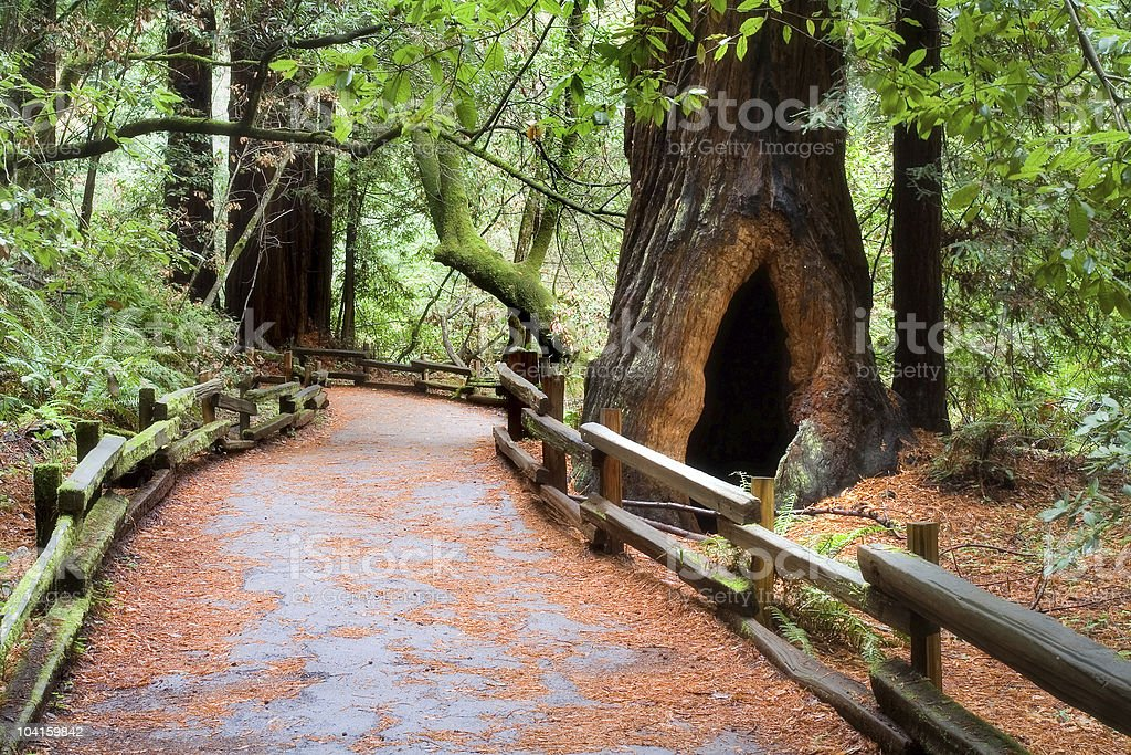 Muir Woods Path stock photo