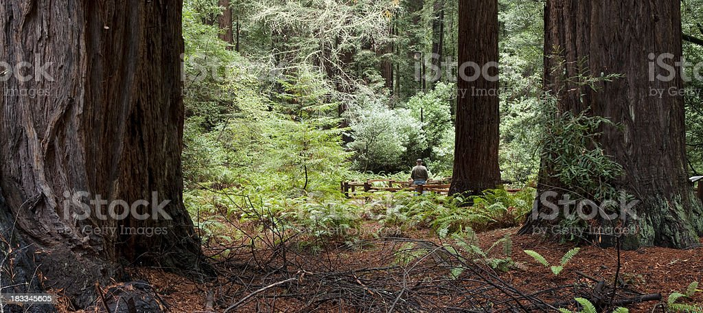 Muir Woods Redwood California stock photo