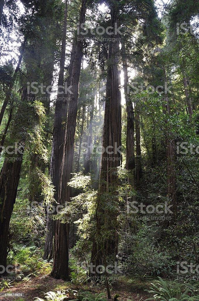 Muir Woods, redwood tree stock photo