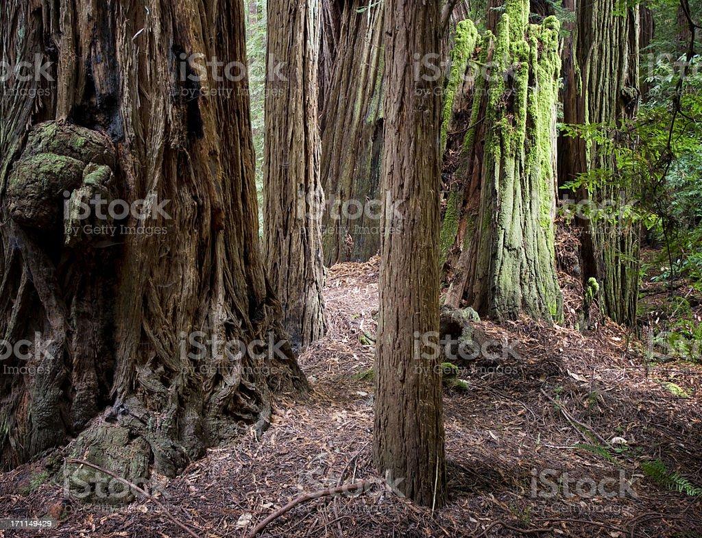 Muir woods redwood trees stock photo
