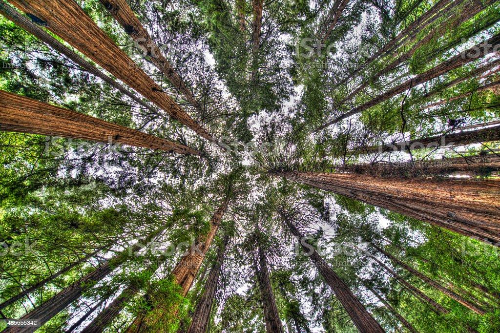 Muir Woods Redwoods stock photo