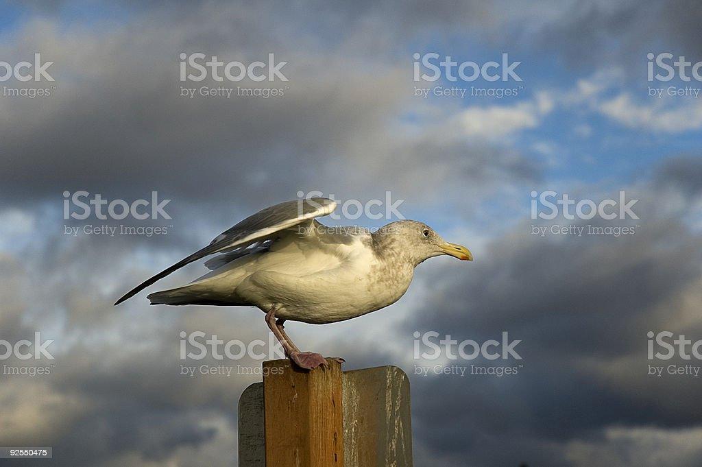 mukilteo gull royalty-free stock photo