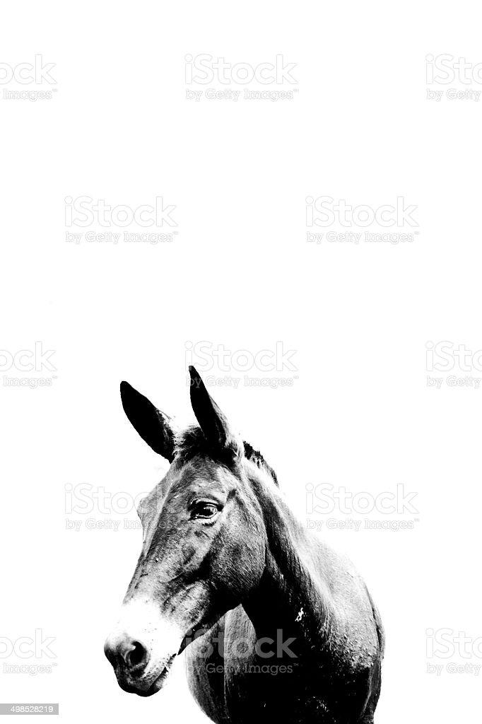 Mula Preta com fundo branco / Black Mule white background stock photo
