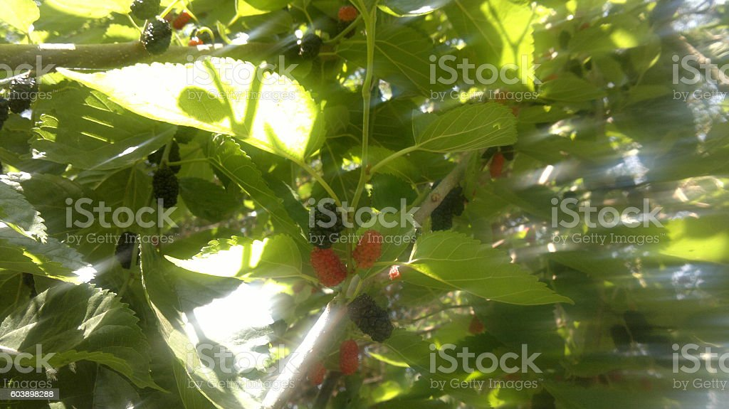 Mulberries royalty-free stock photo